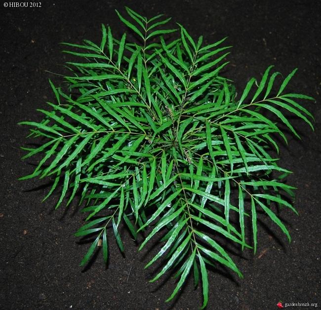 Mahonia eurybracteata - Page 3 GBPIX_photo_550654