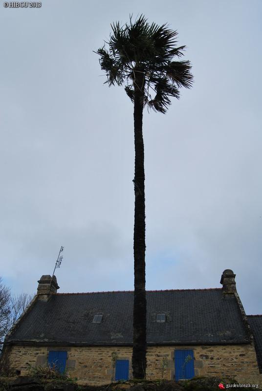 Trachycarpus fortunei - Page 3 GBPIX_photo_559354