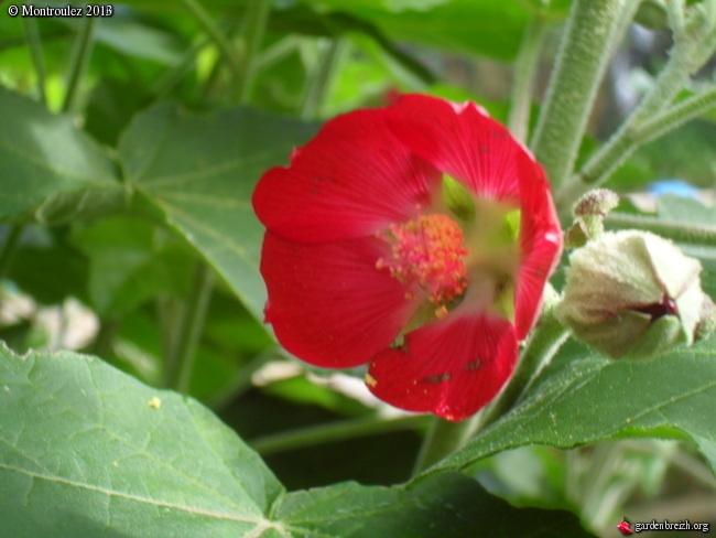 Phymosia umbellata GBPIX_photo_561551
