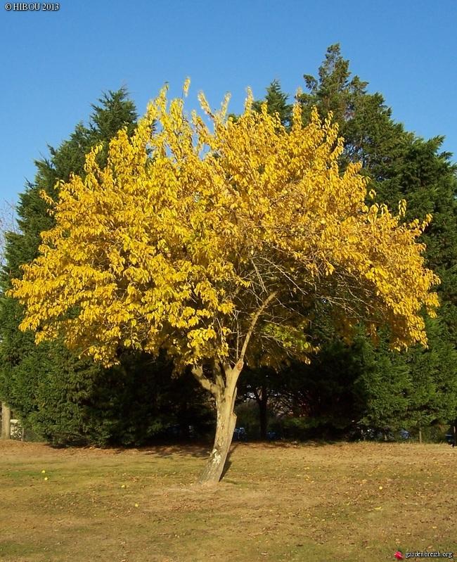 Maclura pomifera - oranger des Osages - Page 2 GBPIX_photo_567615