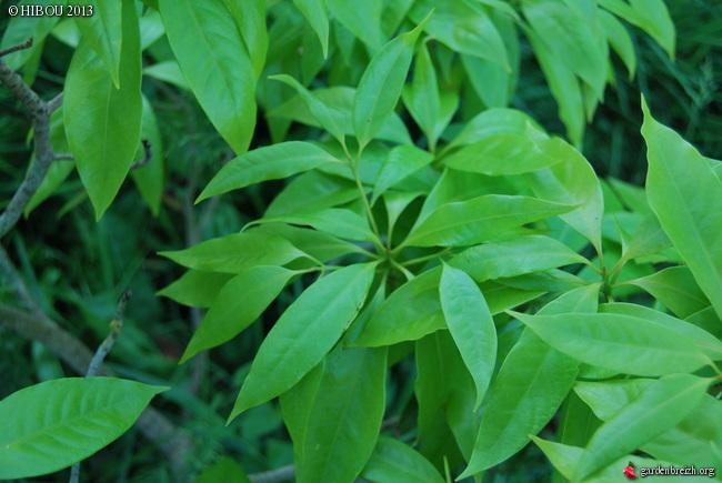 Ilex ? Cyclobalanopsis ? et Pittosporum dallii [id. non terminées] GBPIX_photo_567754