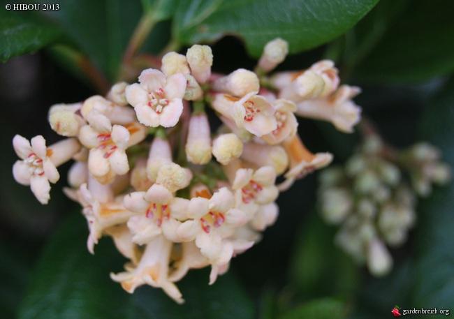 Viburnum suspensum GBPIX_photo_567833