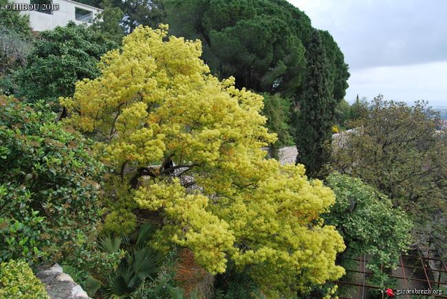 Cinnamomum camphora - camphrier - Page 3 GBPIX_photo_572369