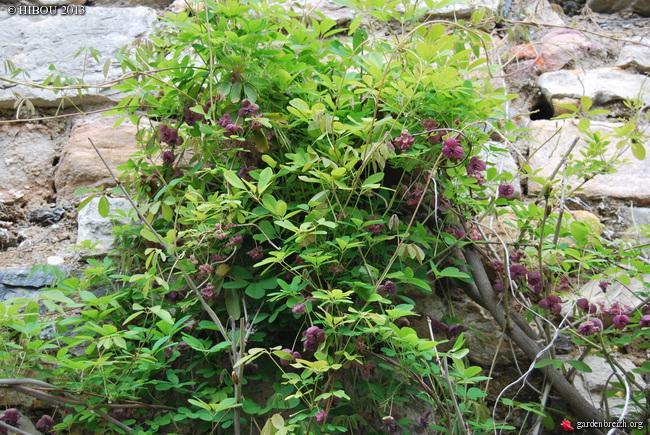 Akebia quinata - liane ou vigne chocolat GBPIX_photo_574319
