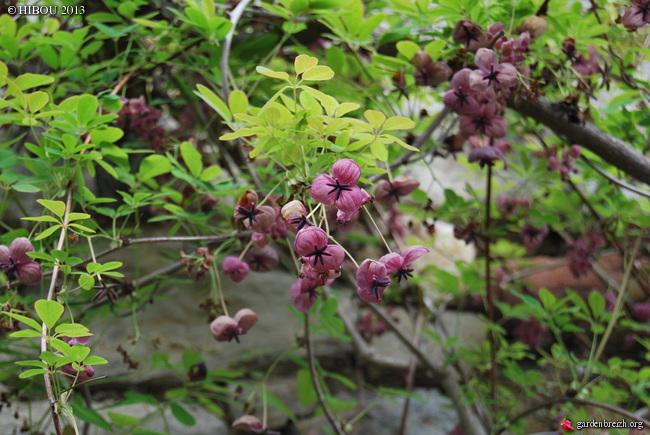 Akebia quinata - liane ou vigne chocolat GBPIX_photo_574320