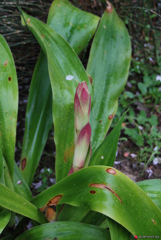 beschorneria - Beschorneria septentrionalis GBPIX_photo_574375