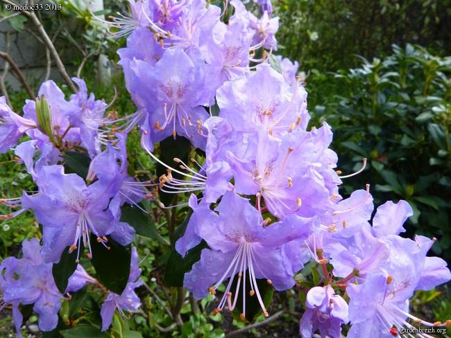 Rhododendron - espèces, variétés, floraisons GBPIX_photo_575100