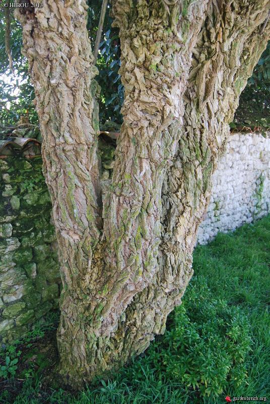 Sambucus nigra et cultivars - sureau noir GBPIX_photo_575543