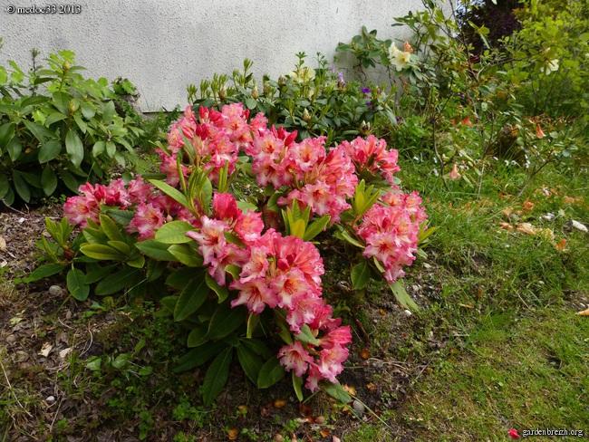 Rhododendron - espèces, variétés, floraisons GBPIX_photo_575644
