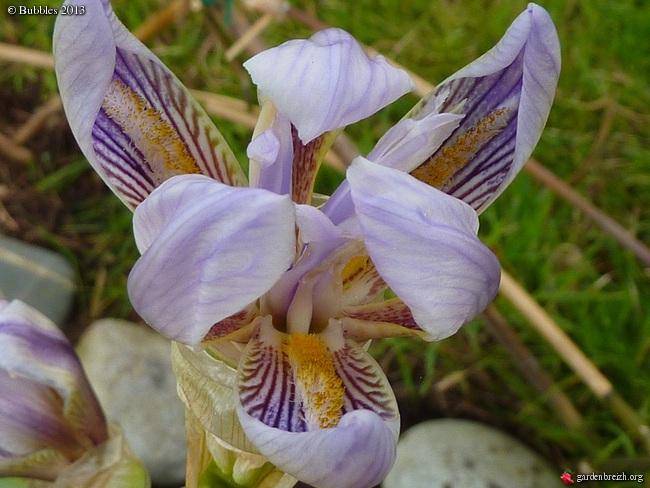 Floraisons de nos Iris barbus 2013 - Page 5 GBPIX_photo_577319