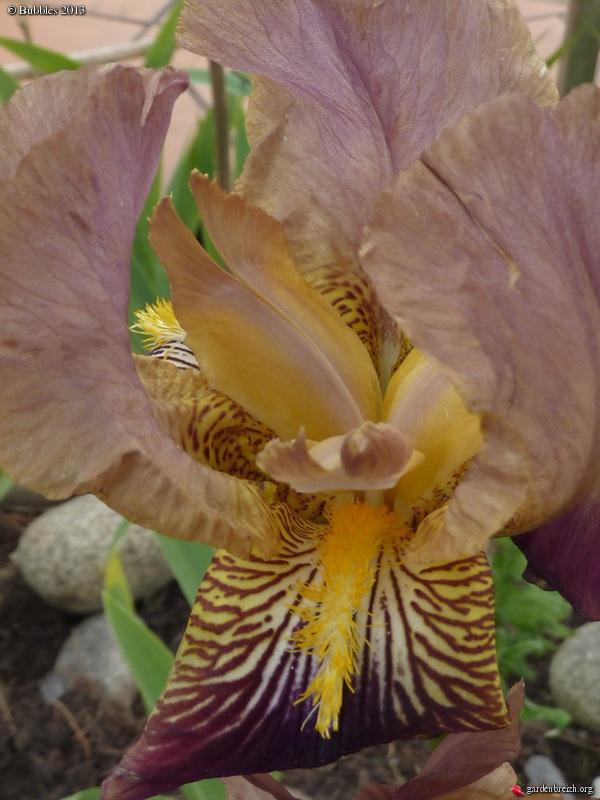 Floraisons de nos Iris barbus 2013 - Page 5 GBPIX_photo_577336