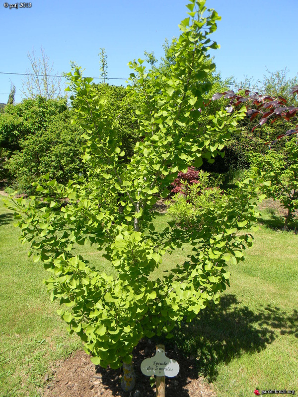 Ginkgo biloba - arbre aux quarante écus - Page 9 GBPIX_photo_577718