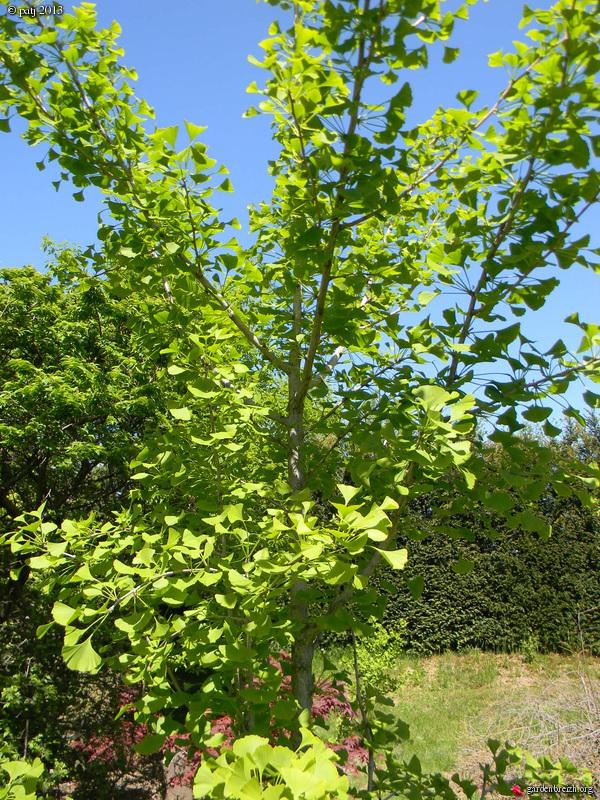 Ginkgo biloba - arbre aux quarante écus - Page 7 GBPIX_photo_577720