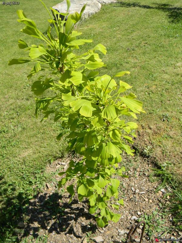 Ginkgo biloba - arbre aux quarante écus - Page 7 GBPIX_photo_577724