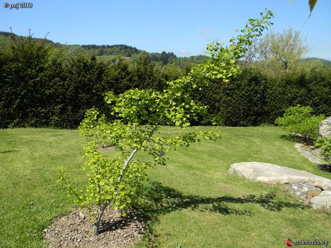 Ginkgo biloba - arbre aux quarante écus - Page 7 GBPIX_photo_577725