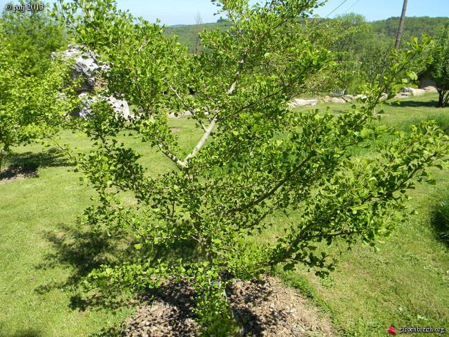 Ginkgo biloba - arbre aux quarante écus - Page 9 GBPIX_photo_577726
