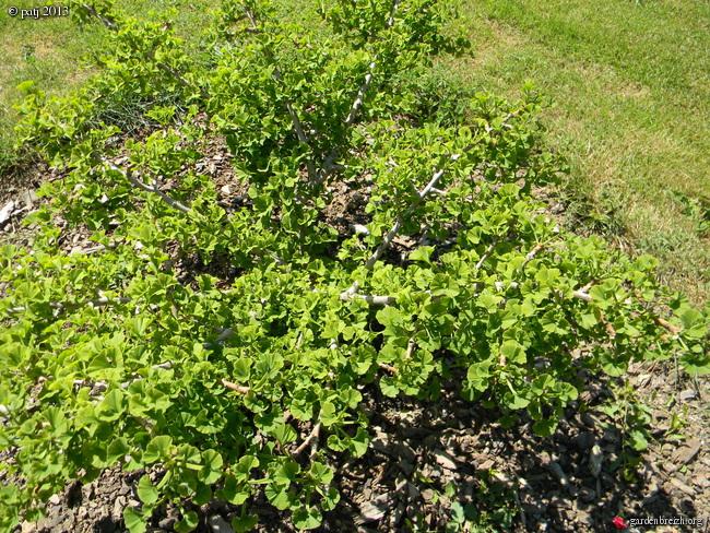Ginkgo biloba - arbre aux quarante écus - Page 9 GBPIX_photo_578410