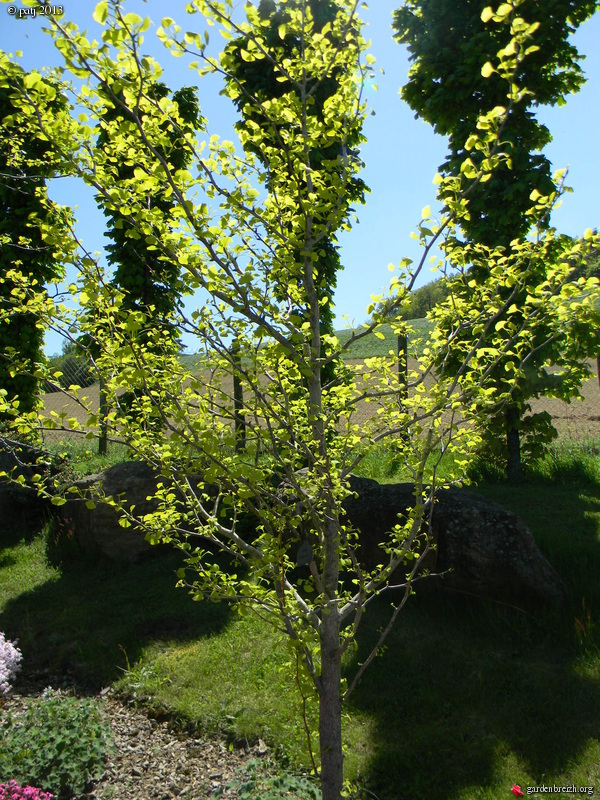 Ginkgo biloba - arbre aux quarante écus - Page 9 GBPIX_photo_578411