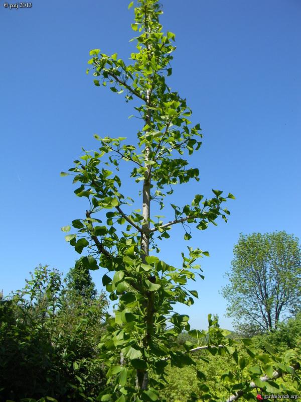 Ginkgo biloba - arbre aux quarante écus - Page 9 GBPIX_photo_578412