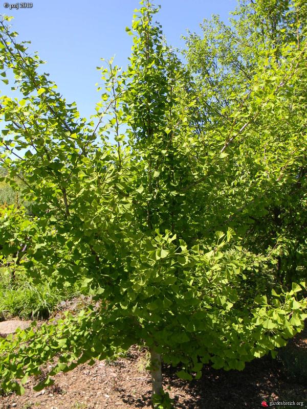 Ginkgo biloba - arbre aux quarante écus - Page 7 GBPIX_photo_578413