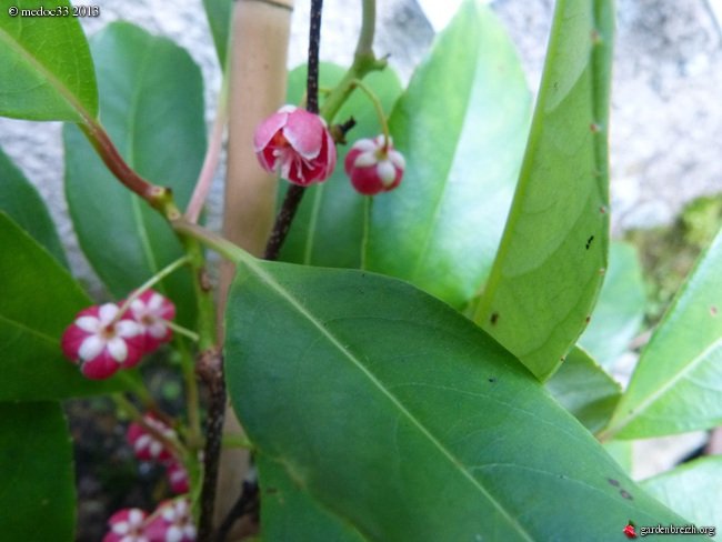 Phoebe sheareri, Bauhinia yunnannensis, Actinidia rubricaulis var coriacea, Illicium simonsii [devinette] GBPIX_photo_590552