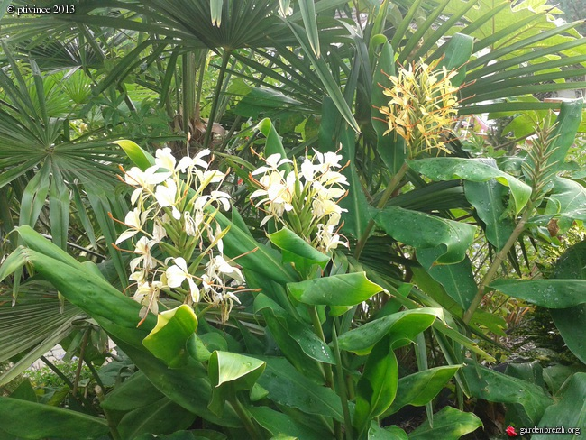 Hedychium - le genre - Page 2 GBPIX_photo_598557