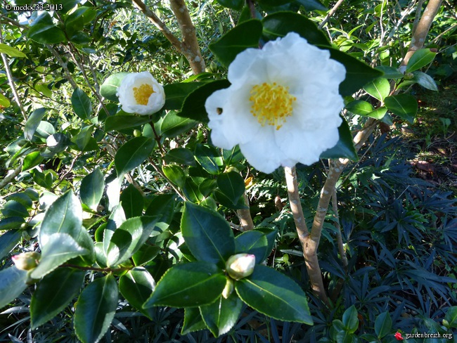 Les Camellias saison 2013-2014 GBPIX_photo_600919