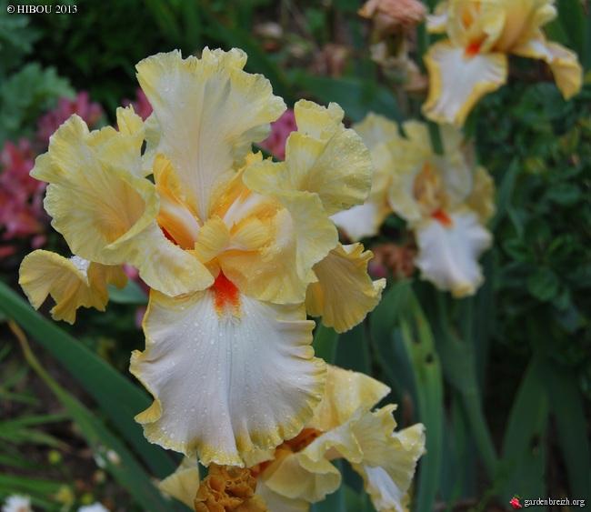 Les iris -culture, multiplication, entretien, variétés. - Page 2 GBPIX_photo_603471