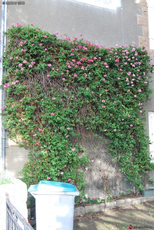 Pelargonium GBPIX_photo_604479