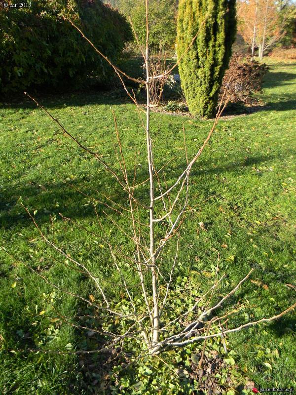Ginkgo biloba - arbre aux quarante écus - Page 7 GBPIX_photo_607882
