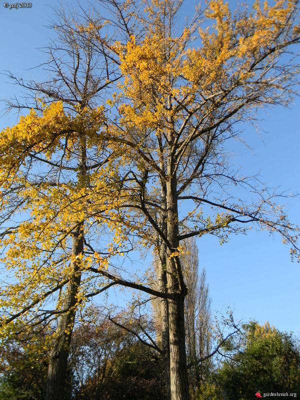 Ginkgo biloba - arbre aux quarante écus - Page 9 GBPIX_photo_609521
