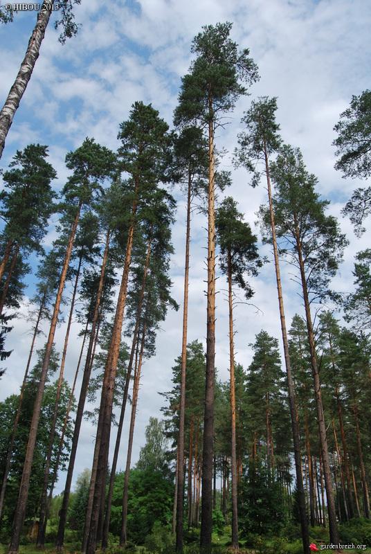 Pinus sylvestris - pin sylvestre GBPIX_photo_610137