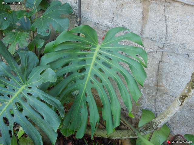 Philodendron-une plante facile à entretenir (variétés, floraison, fruit) GBPIX_photo_611548