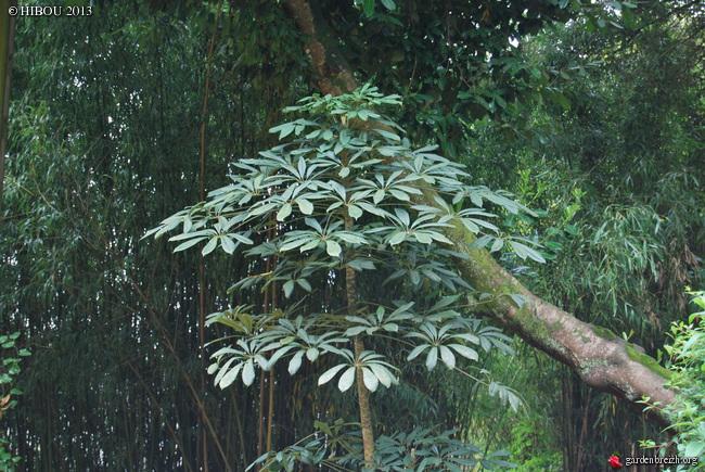 Schefflera rhododendrifolia (= Schefflera impressa) GBPIX_photo_611631
