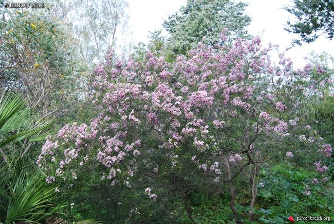 Chamelaucium uncinatum - fleur de cire GBPIX_photo_612026