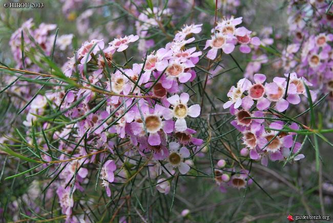 Chamelaucium uncinatum - fleur de cire GBPIX_photo_612027