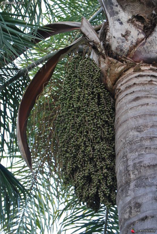 Syagrus romanzoffiana - palmier reine - Page 2 GBPIX_photo_612819