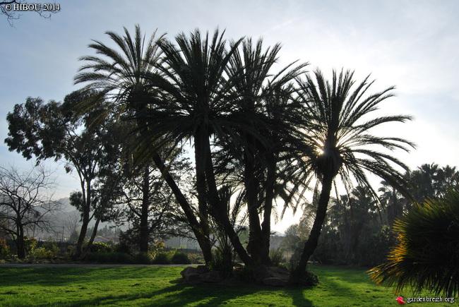 Phoenix dactylifera - palmier dattier GBPIX_photo_612887