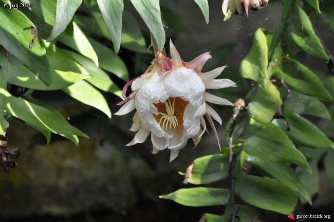 Epiphyllum chrysocardium - Page 2 GBPIX_photo_613626