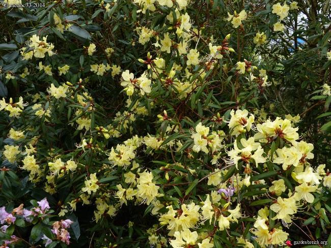 Rhododendron - espèces, variétés, floraisons GBPIX_photo_617263