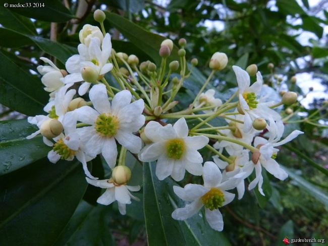 Phoebe sheareri, Bauhinia yunnannensis, Actinidia rubricaulis var coriacea, Illicium simonsii [devinette] GBPIX_photo_617386
