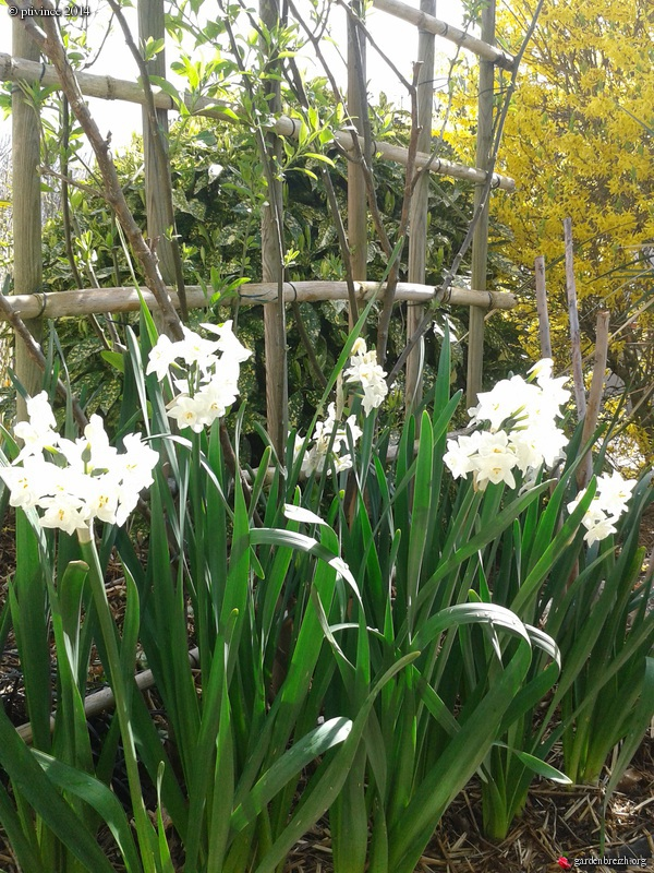 Narcissus tazetta et hybrides horticoles GBPIX_photo_617472