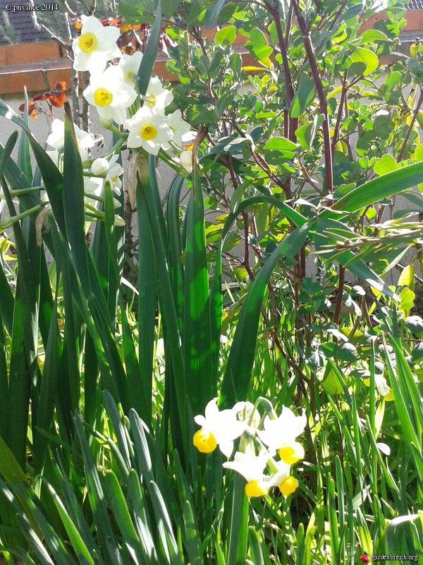 Narcissus tazetta et hybrides horticoles GBPIX_photo_617473