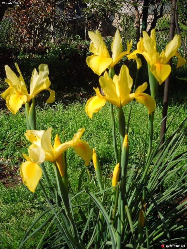 Les iris -culture, multiplication, entretien, variétés. - Page 3 GBPIX_photo_617737