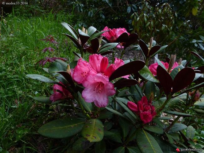 Rhododendron - espèces, variétés, floraisons GBPIX_photo_618116