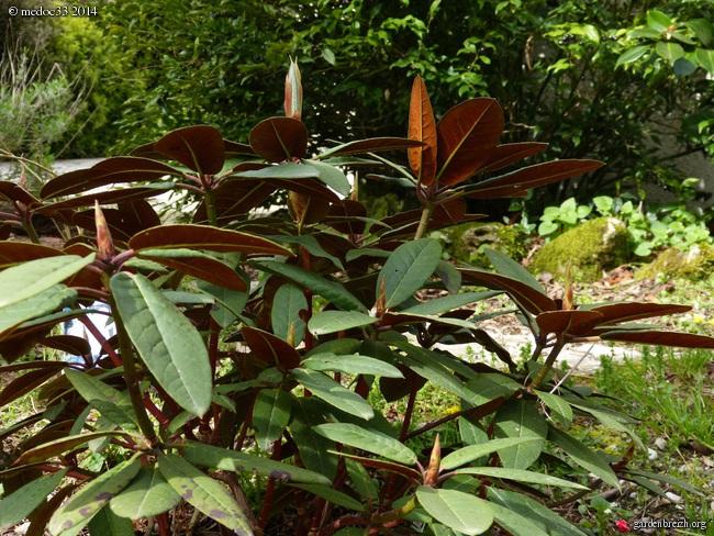 Rhododendron - espèces, variétés, floraisons GBPIX_photo_618318