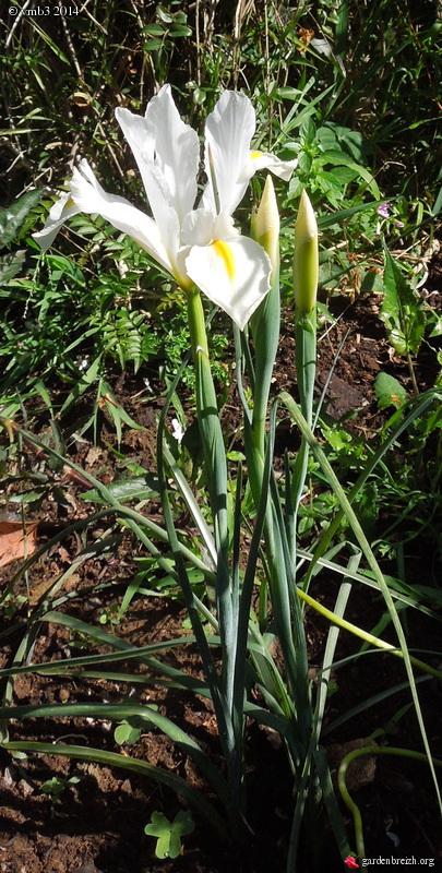 Les iris -culture, multiplication, entretien, variétés. - Page 3 GBPIX_photo_618567