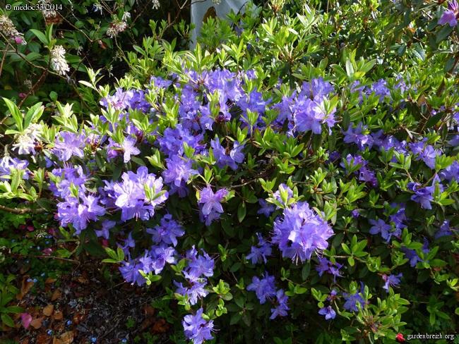 Rhododendron - espèces, variétés, floraisons GBPIX_photo_618572