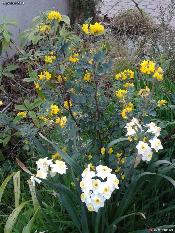 Narcissus tazetta et hybrides horticoles GBPIX_photo_619070
