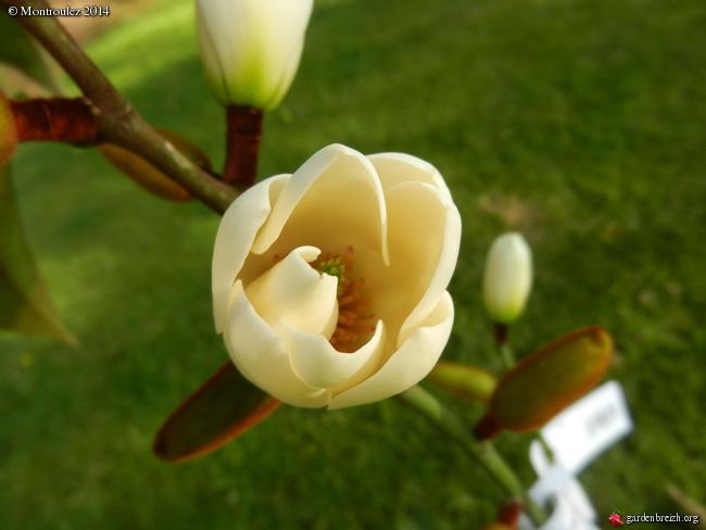 Magnolias - Page 14 GBPIX_photo_619217
